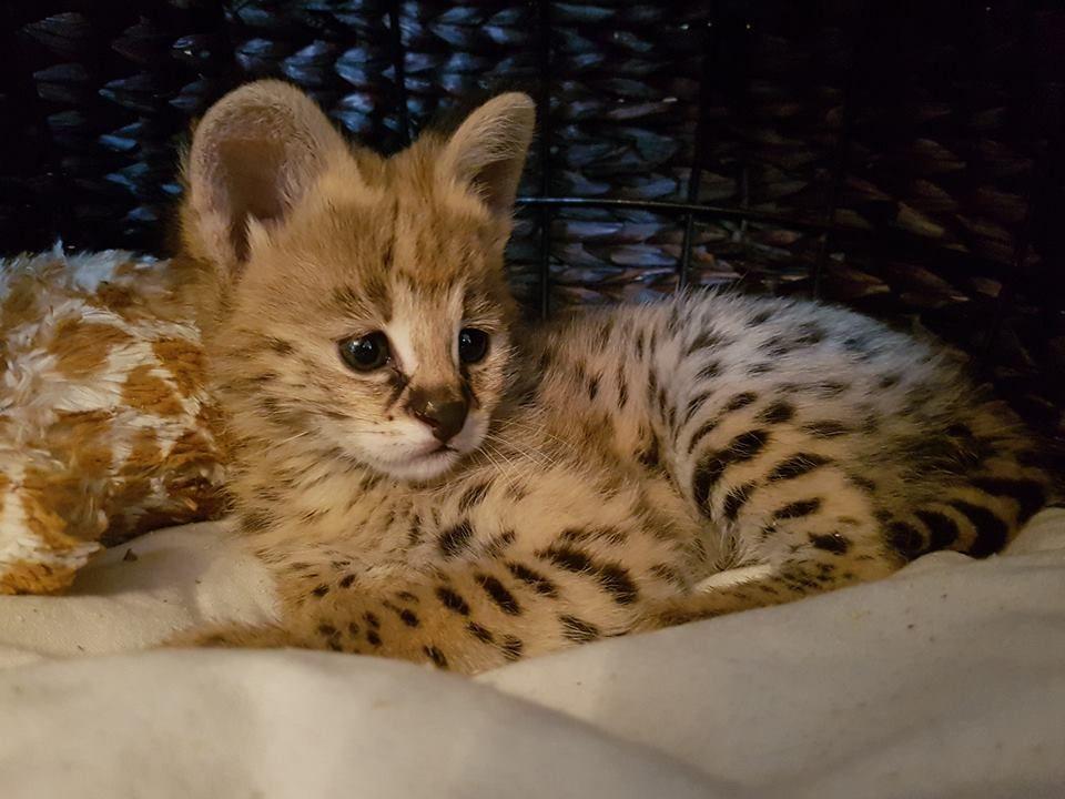Savannah Cats For Sale Houston Tx