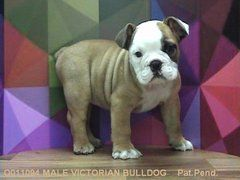 Victorian Bulldog Victorian Bulldog Bulldog Puppies For Sale