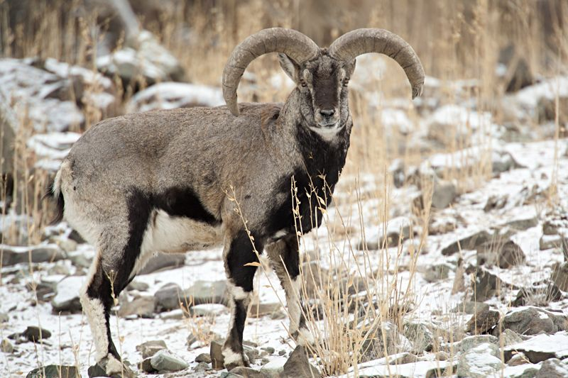 bharal or himalayan blue sheep of india 64 snow