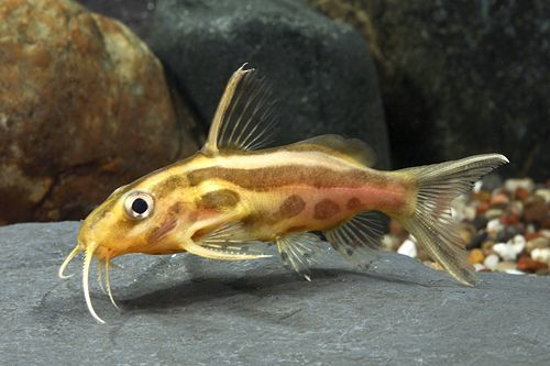 Synodontis Flavitaeniatus Catfish Florida Med Synodontis Flavitaeniatus Pet Fish Catfish Aquarium Fish