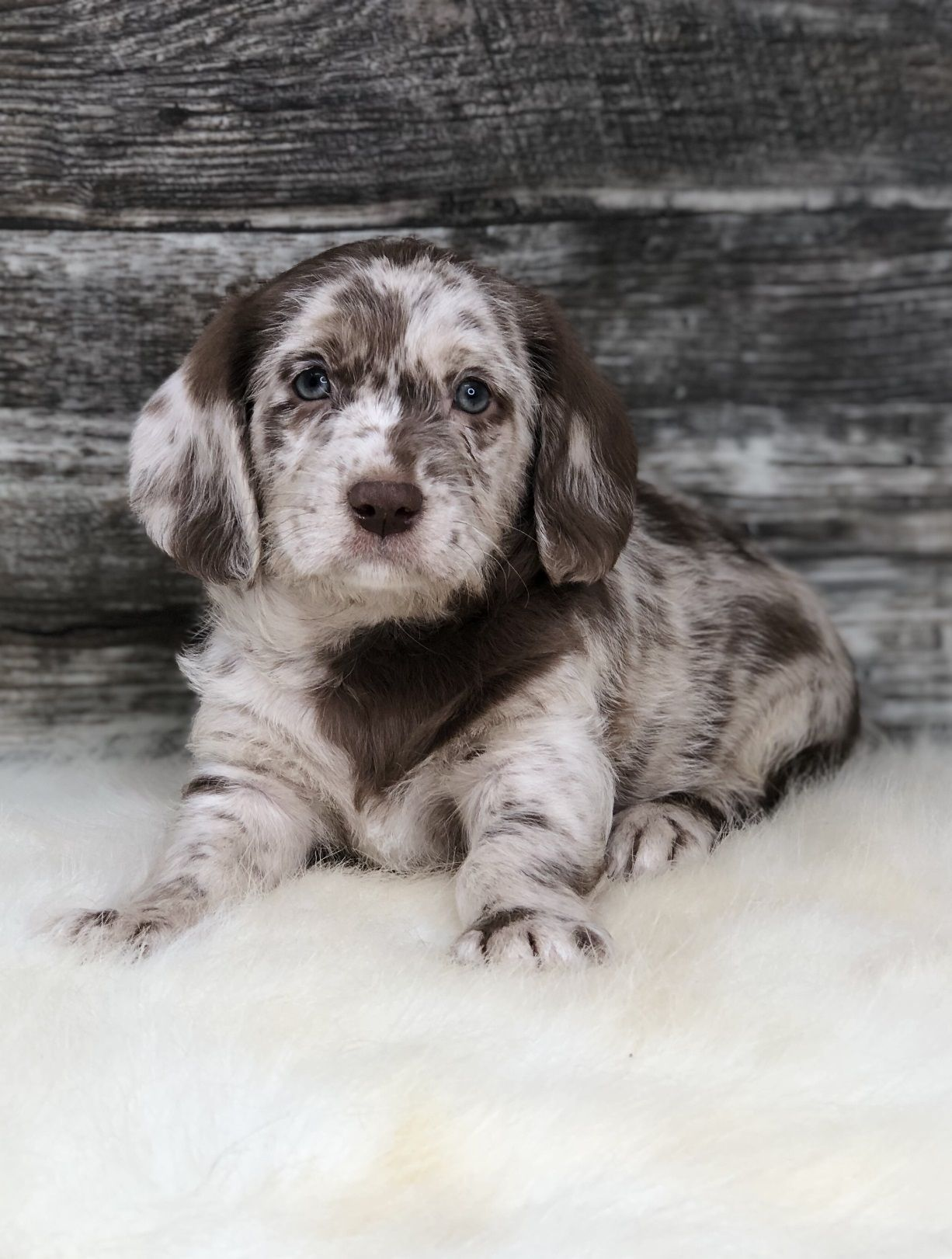 Puppies For Sale 2020 Puppies Lancaster Puppies