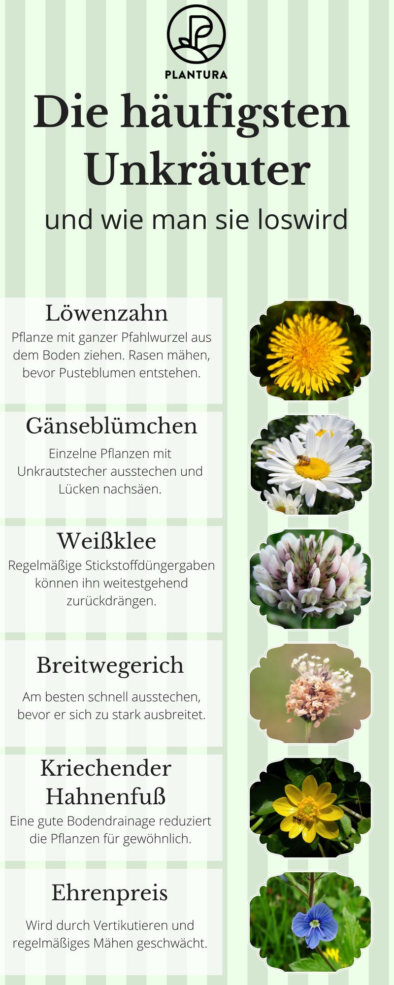Gut Die Häufigsten Unkräuter Und Wie Man Sie Los Wird.Neben Löwenzahn,  Gänseblümchen, Weißklee