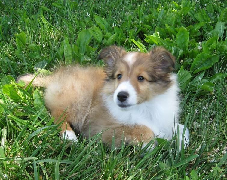 American Shetland Sheepdog Puppy In Tan And White Laying On The Grass Jpg Sheep Dog Puppy Shetland Sheepdog Puppies Sheltie Puppy