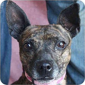 Huntley Il Dachshund Italian Greyhound Mix Meet Brynn A Dog For Adoption Http Www