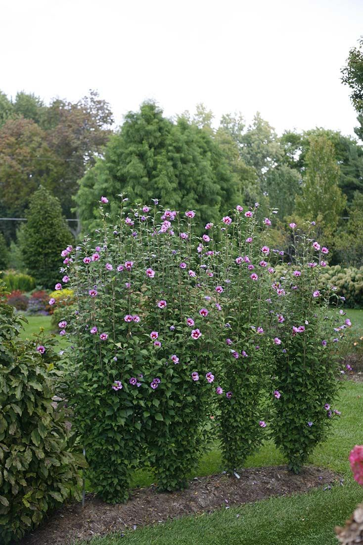 Purple Pillar Rose Of Sharon Hibiscus Syriacus Privacy