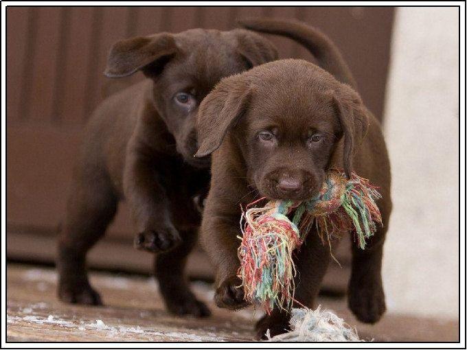 Labrador Bambini ~ 179 best labradors to love. images on pinterest labrador