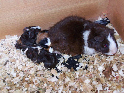 Pin on Guinea Pig Information