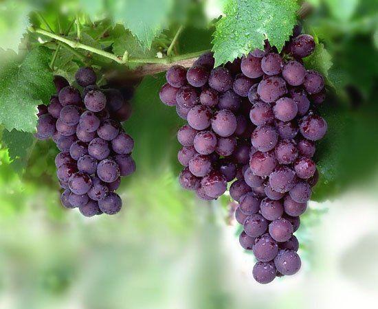 Khasiat Buah Anggur Ketika Hamil