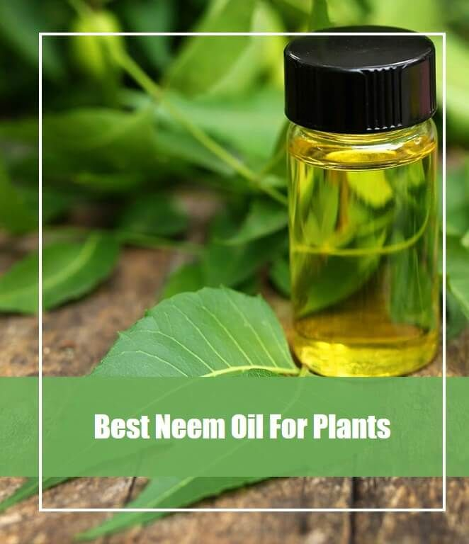 Neem Oil Image By OverTopInfo On Gardening Disease And