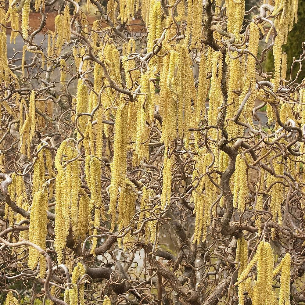 Harry lauder walking stick trees - There Truly Is Something Enchanting About Harry Lauder S Walking Stick With Its Golden Catkins And Twisty