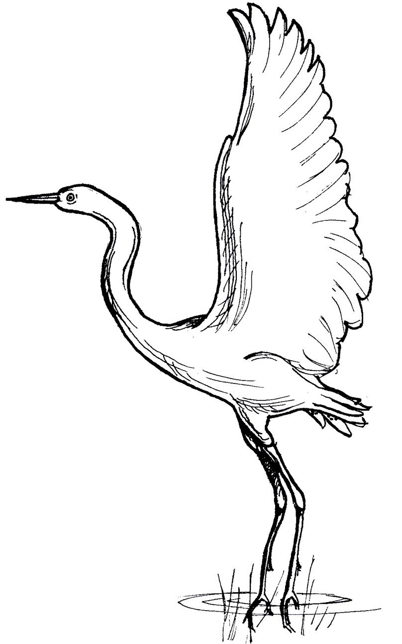 South African Blue Crane Colouring Pages With Images Bird