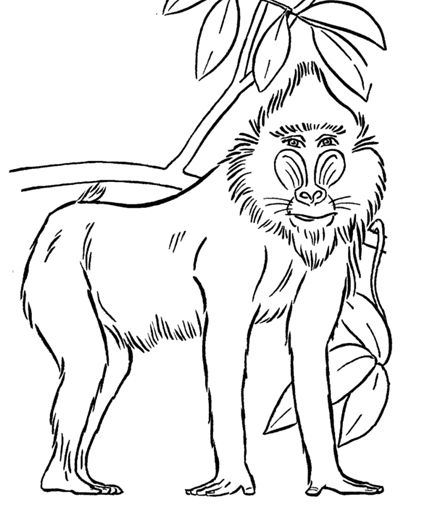 Baboon Coloring Page With Images Animal Coloring Pages