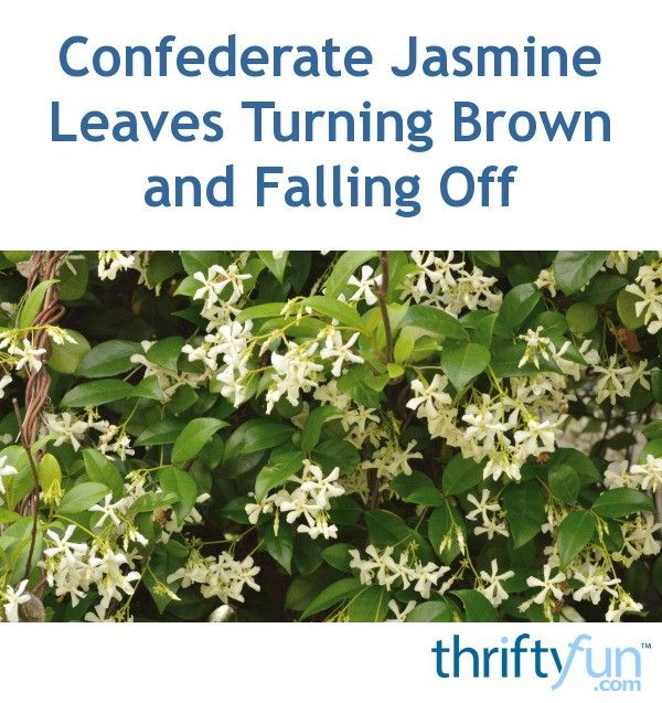 Confederate Jasmine Leaves Turning Brown And Falling Off Jasmine Plant Confederate Jasmine Plants