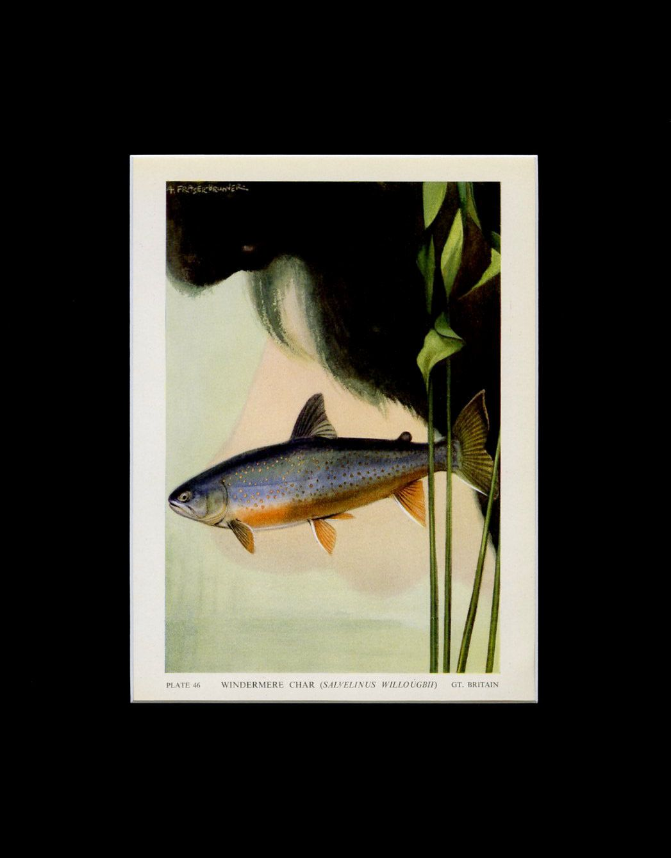 MATTED 1949 Vintage Fish Print - Windermere Char Book Plate - Fish Wall Art - Fish Print - Fish Illustration - Fishing Gift - Ocean Decor by VintageAdWorld on Etsy