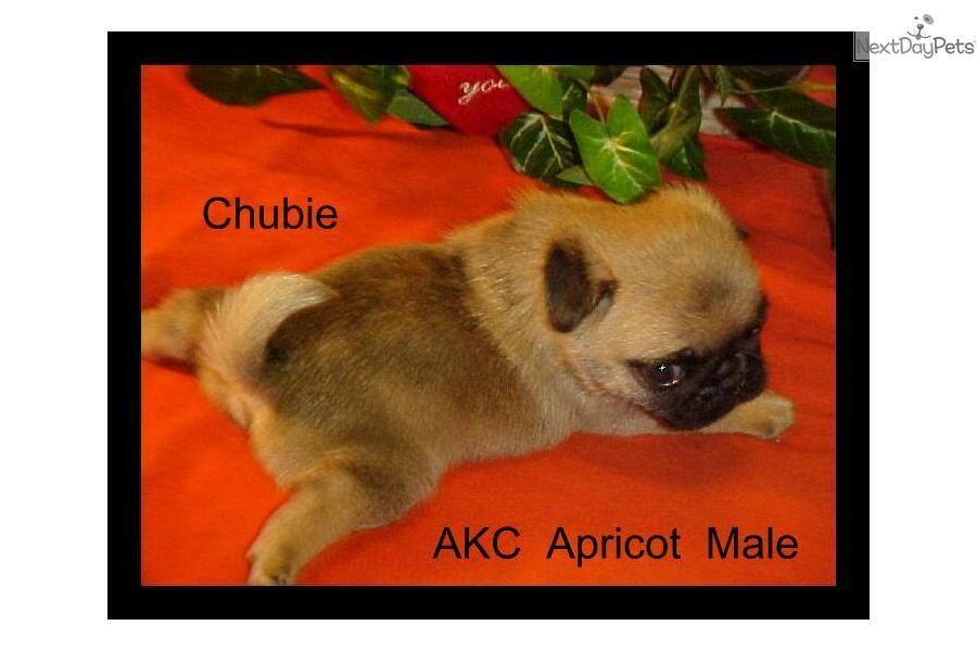 Meet Chubie A Cute Pug Puppy For Sale For 700 Cute Akc Pug Puppy