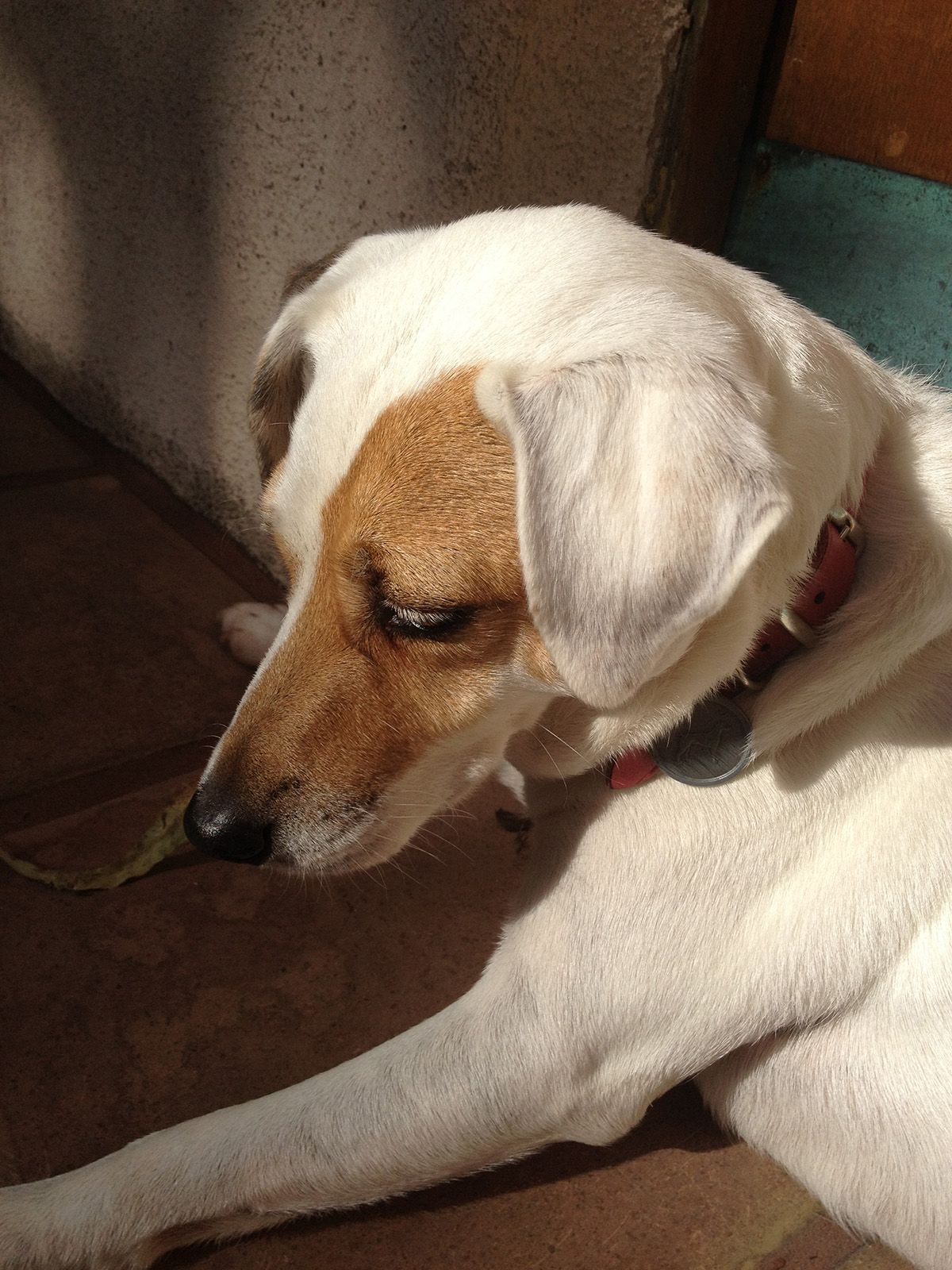 I Love Her White Eyelashes Jack Russell Terriers Pics Products