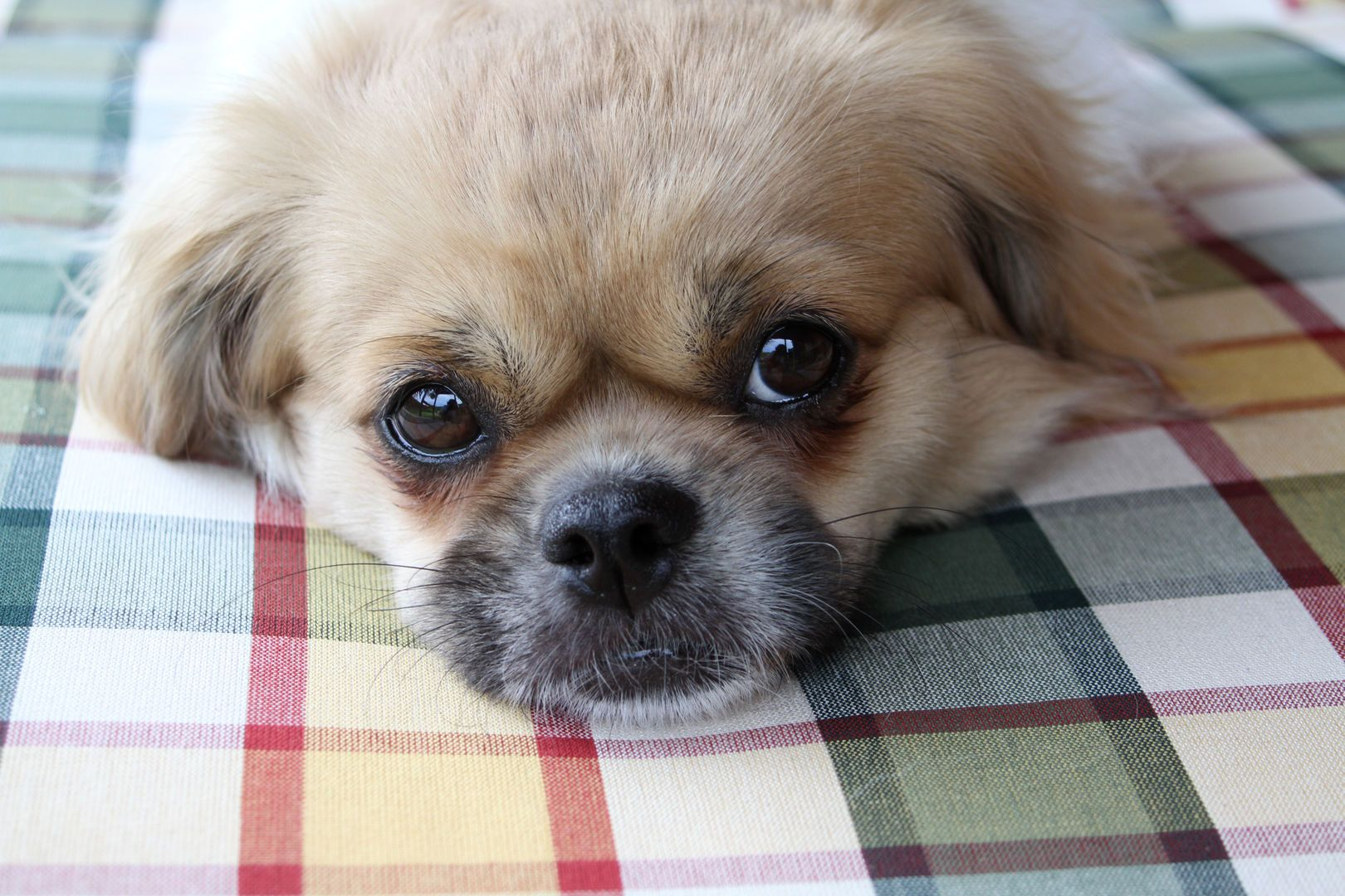 Puppy Eyes Tibetan Spaniel Dogs Do Have A Sense Of Time Because They Pick Up On Our Routines And Habits Therefore Al Lap Dogs Cuddly Animals Spaniel Puppies