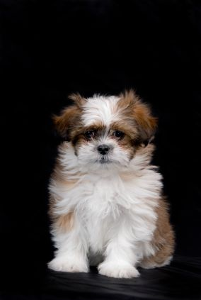 Shih Tzu Shih Tzu Small Dogs Dogs Shih Tzu