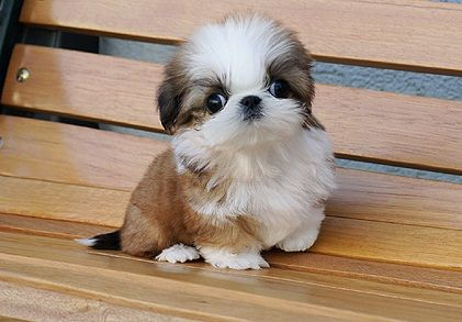 Teacup Shih Poo Puppies Dogs And Puppies Pinterest Shih Tzu