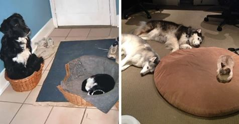 MeetAnimals : RT @MeetAnimals: 22 Asshole Cats Who Stole Dog Beds And Didnt Give A Damn About The Pawlice https://t.co/zUDQ3HDCjB #OurCam #Photography www.ourcam.co/