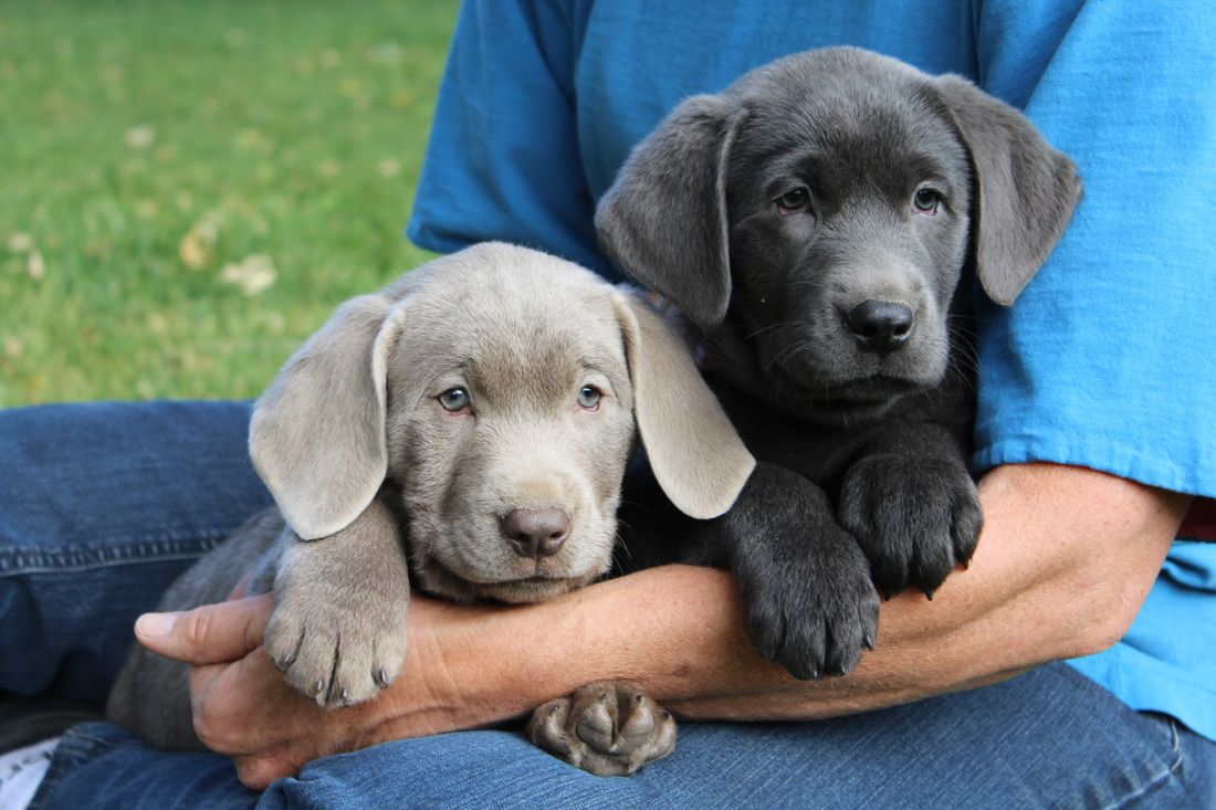 Image Result For Charcoal Lab Charcoal Lab Puppies Lab Puppies Labrador Retriever