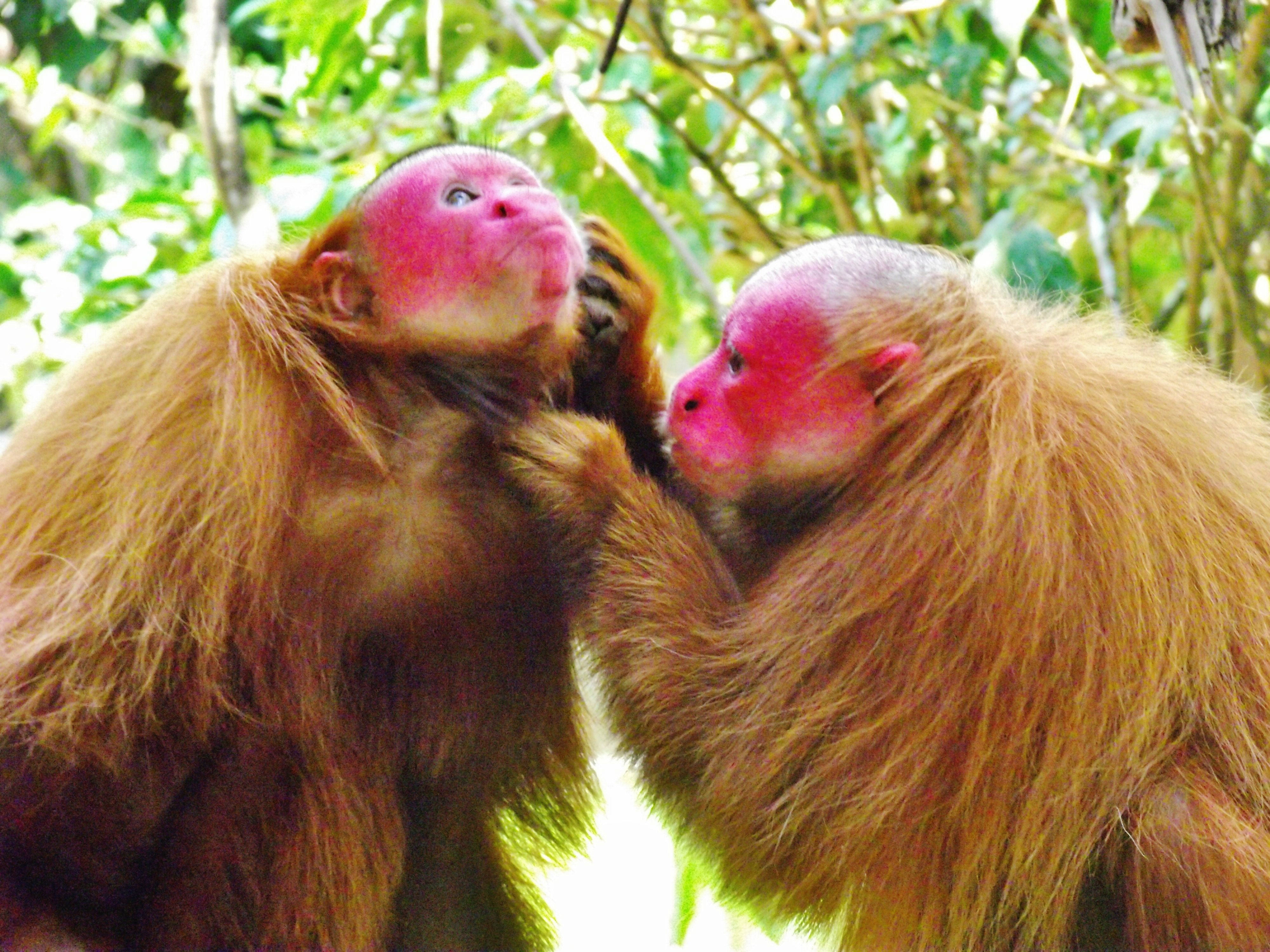 """yeah - the zipper is really stuck""   Amazon Animal Orphanage & Pilpintuwasi Butterfly Farm » Blog Archive » Uakari Project Advances"
