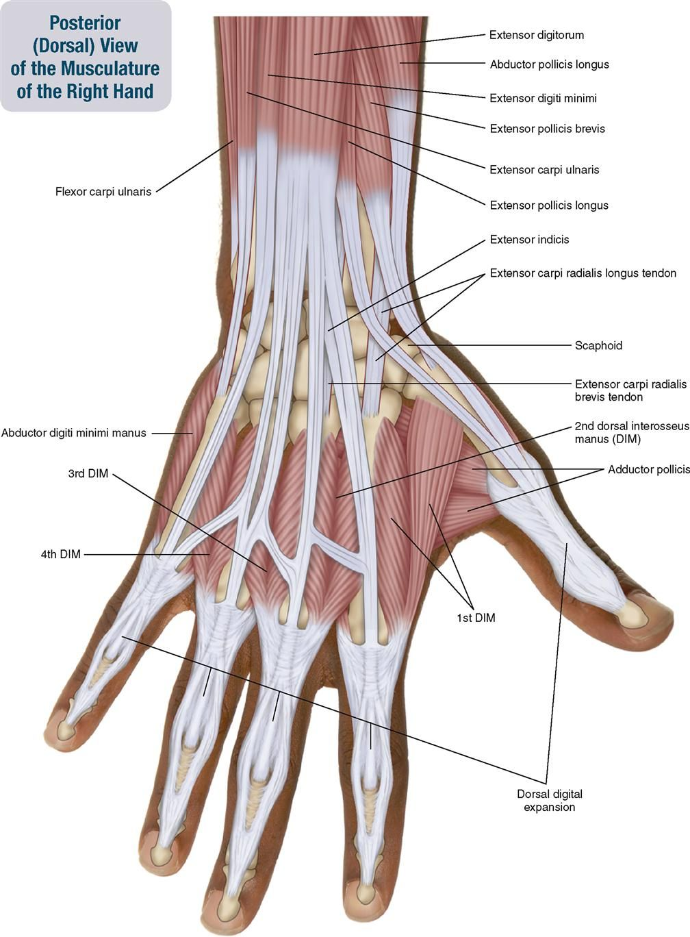 Tendons In Right Hand 7. Muscles Of The Forearm And Hand ...