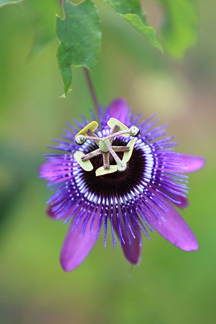 Passiflora Loefgrenii X Caerulea Passion Flower Blue Passion Flower Tropical Flower Plants