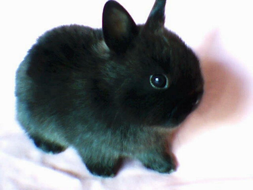 Black Netherland Dwarf Bunny......... HE'S SO CUTE AND ...