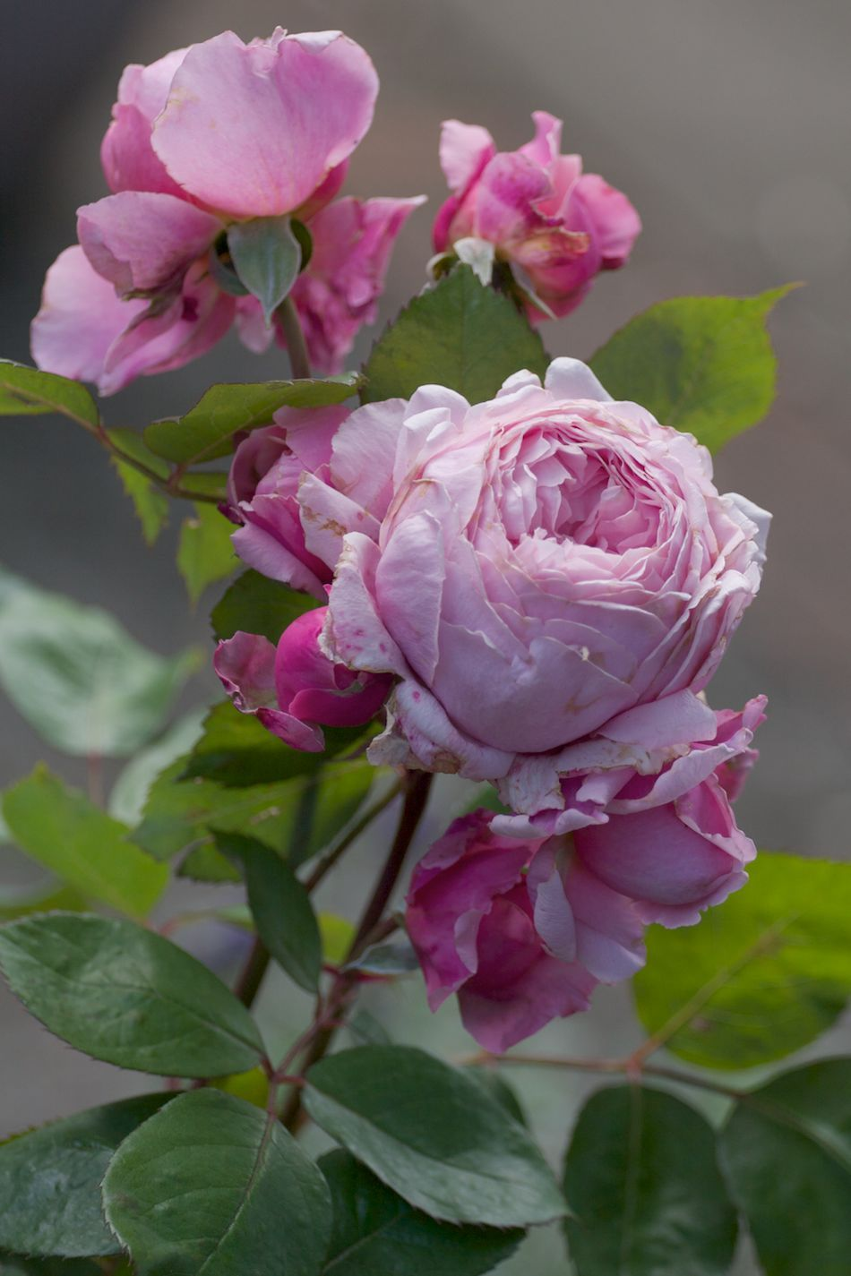 english shrub rose rosa 39 brother cadfael 39 u k 1990. Black Bedroom Furniture Sets. Home Design Ideas