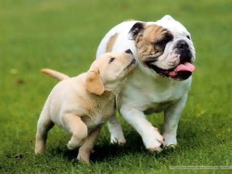 A Bulldog A Golden Retriever Puppy 3 Dogs Beautiful Dog Pictures