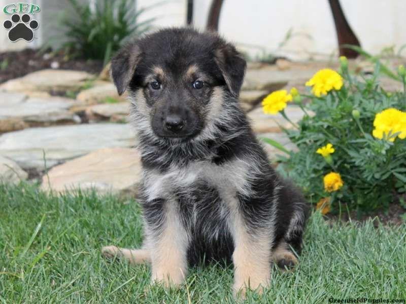 flyer german shepherd puppy for sale from kirkwood pa german