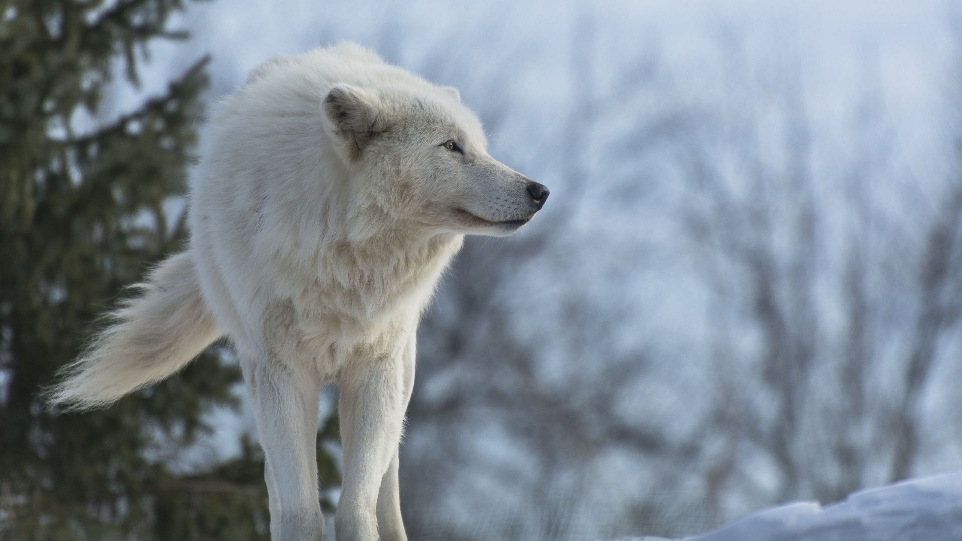Pin By Poudoulec Jean On Wolves Wolf Wallpaper Arctic Wolf Wolf Predator