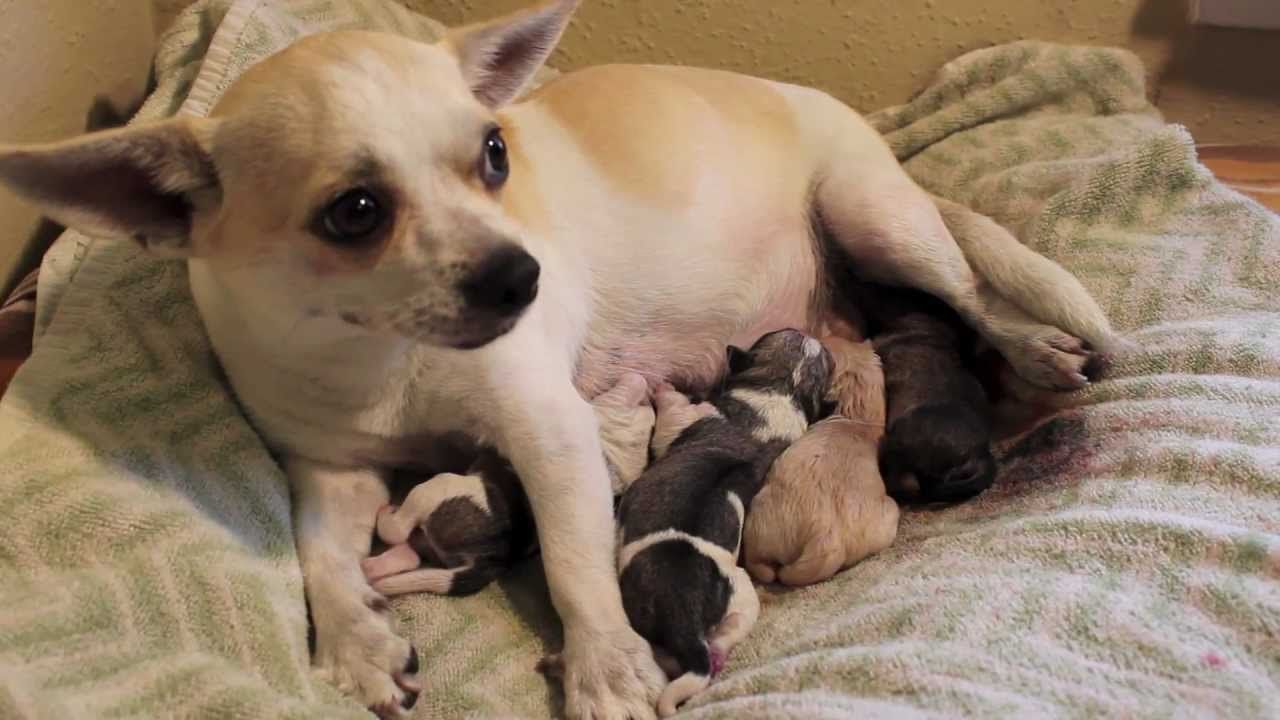 Denver S Fourth Puppy Chihuahua Pug Mix Giving Birth Youtube