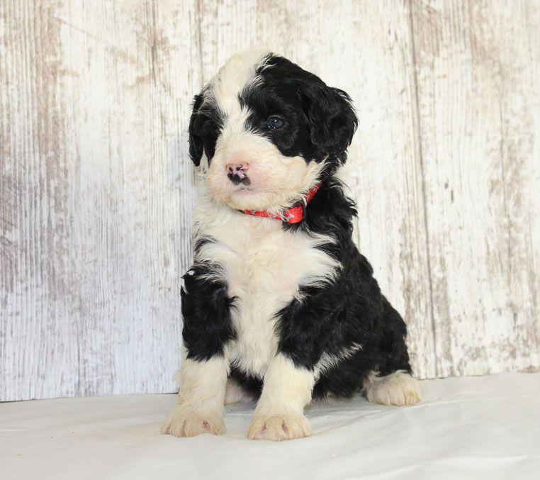 Ava A Cute Female Mini Bernedoodle Puppy For Sale In