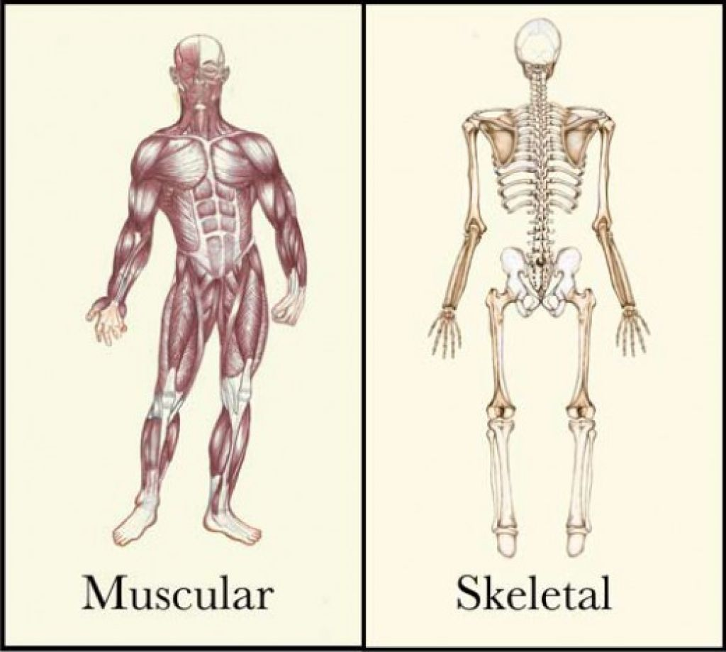 Human Skeletal And Muscular System Picture Art Studie Anatomie