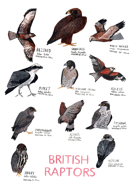 A3 British Raptors Poster Etsy British Birds Identification British Birds Of Prey Bird Illustration