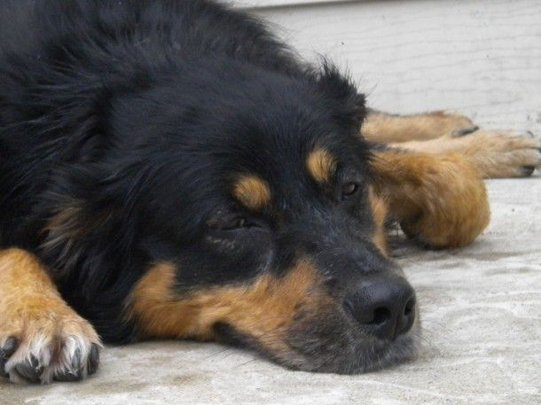 Meyna Australian Shepherd Rottweiler 4 Years Female Meyna Is A