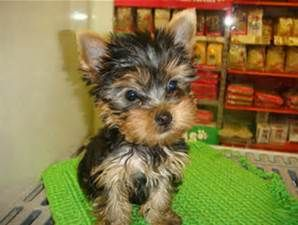 Full Grown Yorkie Poo Weight What Is The Life Span Of A Teacup Yorkie Yorkie Puppy Teacup Yorkie Puppy Yorkshire Terrier