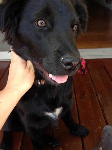 Adopt Falcon On Petfinder Black Labrador Retriever Border Collie Lab Mix Labrador Retriever Dog