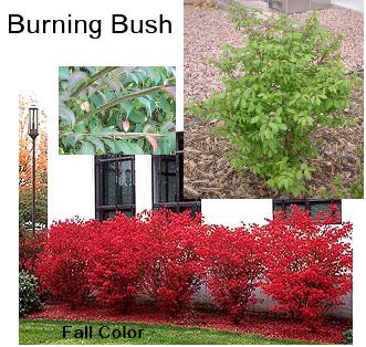 Burning Bush Burning Bush Plant Front Yard Plants Burning Bush