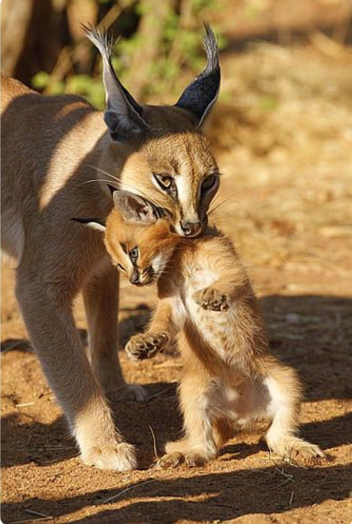 A mother caracal carrying her baby. Caracals (Caracal
