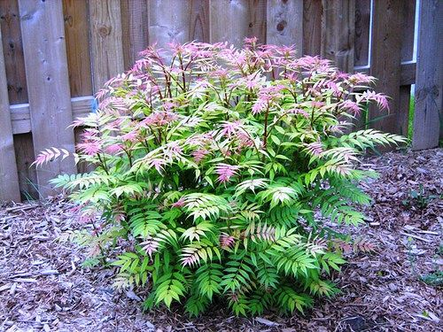 Sem False Spirea Zone 3 H 24 36 W 26 48 Full Sun Or Part Shade Beautiful Young Foliage Tinged With P Landscaping Trees Flowering Bushes Landscape Projects