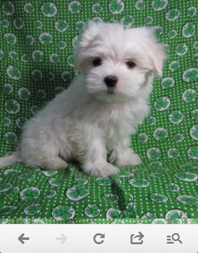 I want this puppy!! Maltese (With images) Teacup puppies