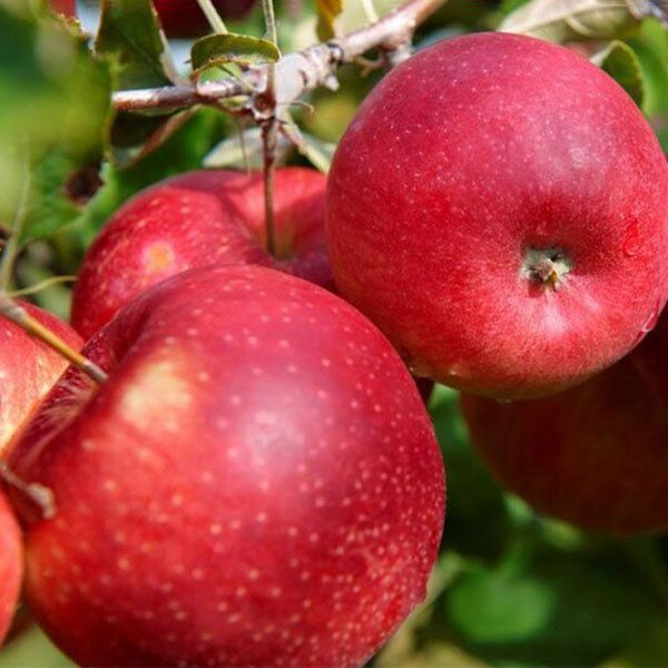 Egrow Egrow 50 Pca/Pack Red-Fleshed Apple Seeds Redlove Apple Fruit Tree Seed Garden Planting