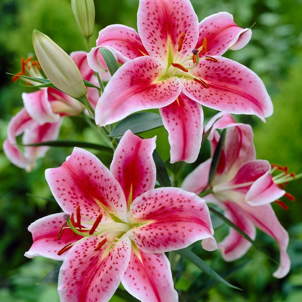 Lilies oriental stargazer bulbs pack of 7 stargazer flowers and lilies oriental stargazer bulbs pack of 7 izmirmasajfo Images