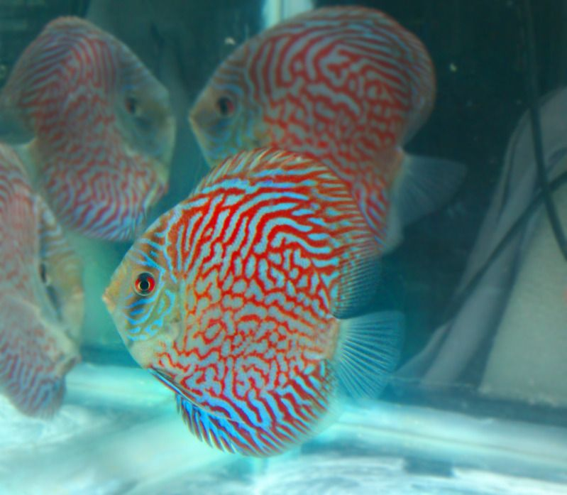 Rare discus fish thread exotic discus oak forest il for Rare freshwater aquarium fish