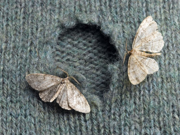 Getting Rid Of Clothing Moths The Natural Way Getting Rid Of Moths Moth Repellent Moth