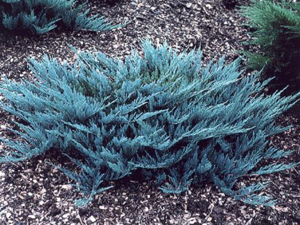 10 Best Small Evergreen Shrubs With Images Small 400 x 300