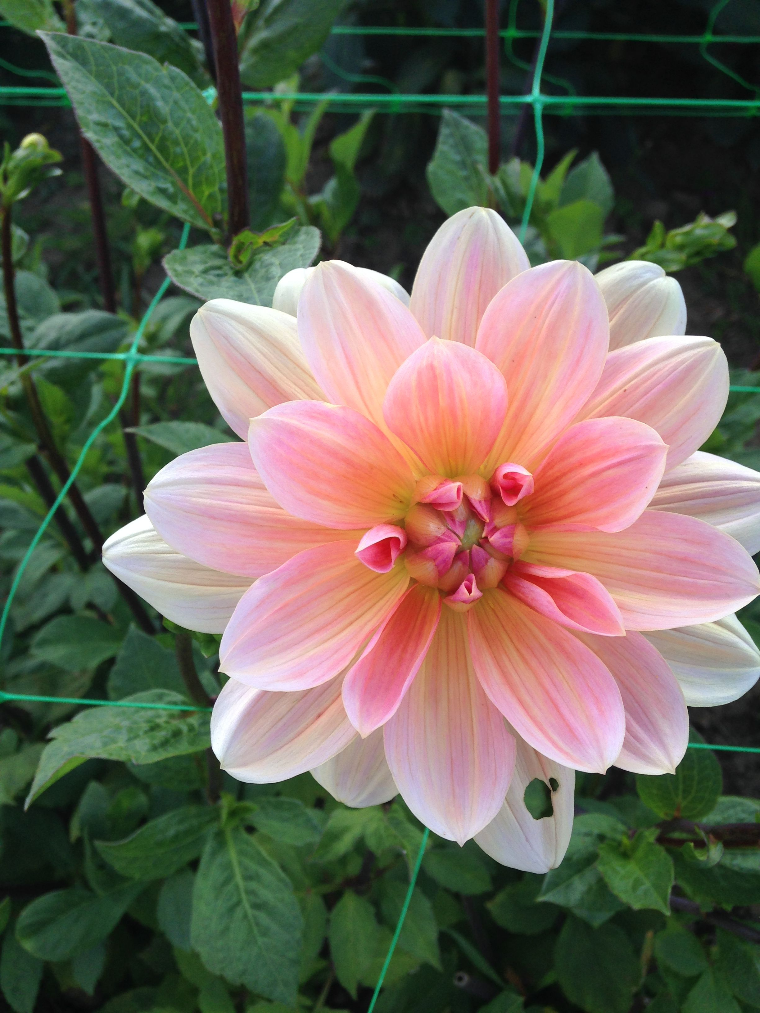 Dahlia Yvonne Dahlia Varieties Pinterest Dahlia And Flower Boxes